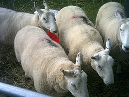 Port Sunlight Sheep Photo 1 (small)